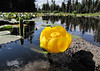 Nuphar polysepala (Bigelow Lakes Trail, Oregon Caves National Monument)