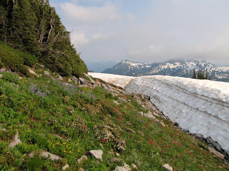 Springflowers near the snow, Paradise, Mount Rainier NP, Skyline Trail