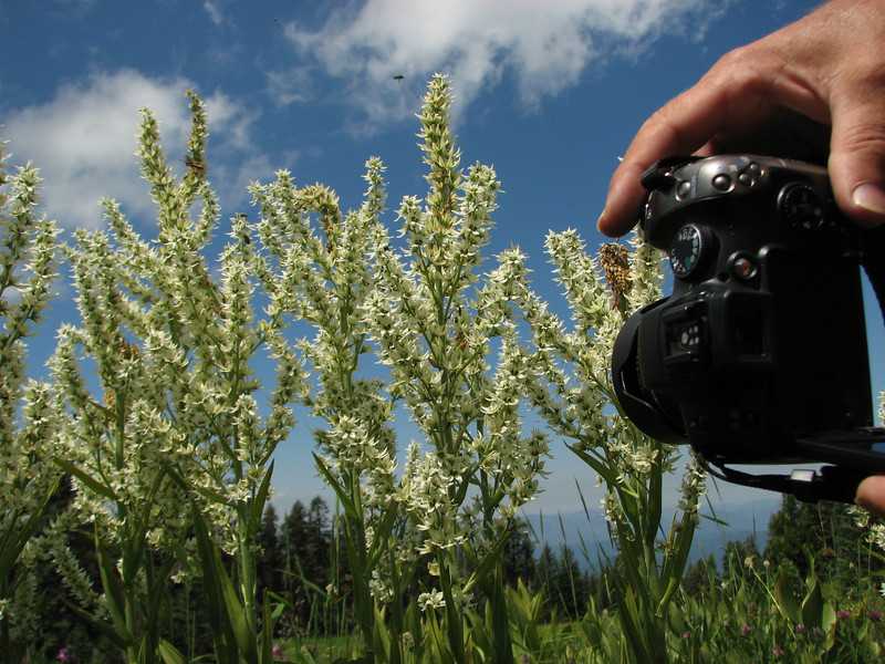 photographing Veratrum californicum (Trailhead Bigelow Lakes, Oregon Caves National Monument) (photo Kees Jan)