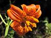 Lilium columbianum (Redwood National Park, northern part, California)