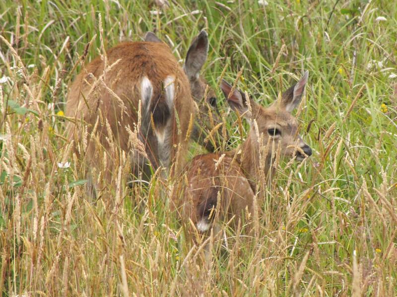 Odocoileus hemionus, adult and juvenile Black-tailed Deer (syn. Mule Deer) Near Prairie Creek Campground in Prairie Creek SP