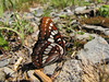 Lemenitis lorquini, Lorquin's Admiral (Trailhead Bigelow Lakes, Oregon Caves National Monument)