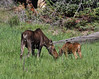 Alces alces, female and calve Moose.