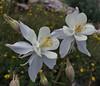 Aqulegia coerulea, Colorado Blue Columbine. Secret Lake Trail, Alta, UT.