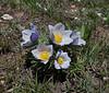 Pulsatilla patens, (syn. P. hirsutissima), Pasqueflower, Parkman, North WY.