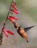 Selasphorus rufus on Penstemon eatoni, male Rufous Hummingbird on Firecracker Penstemon, E of Alpine, UT.