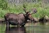 Alces alces, male Moose.
