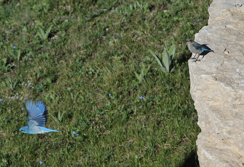 Sialia currucoides, Mountain Bluebird. Medicine Wheel Nat'l. Hist. Site.