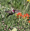 Selasphorus platycercus on Castilleja applegatei.     male Broad-tailed Hummingbird on Applegate's Indian Paintbrush. Catherine Pass 2669m, Brighton, UT.