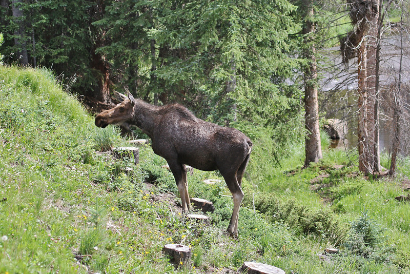 Alces alces, female Moose.