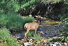 Cervus elaphus, herd Elks