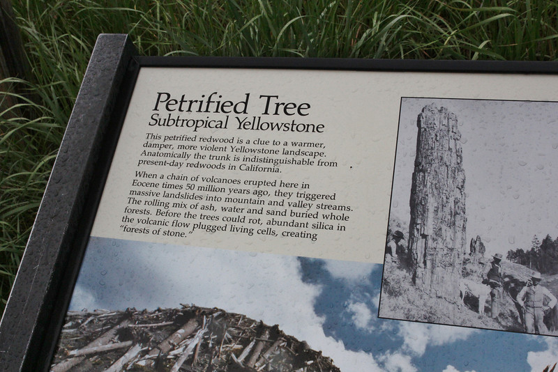 Sequoia sempervirens, Petrified Tree, 50.000.000 years old