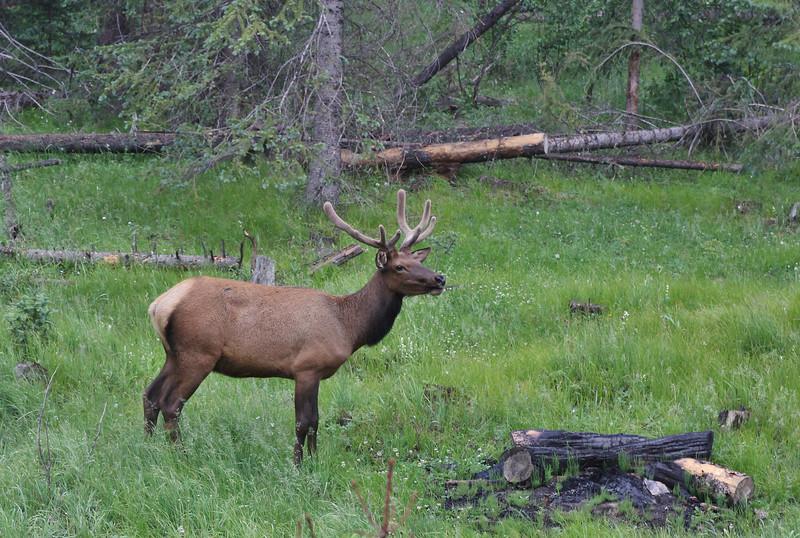 Cervus elaphus, male Elk