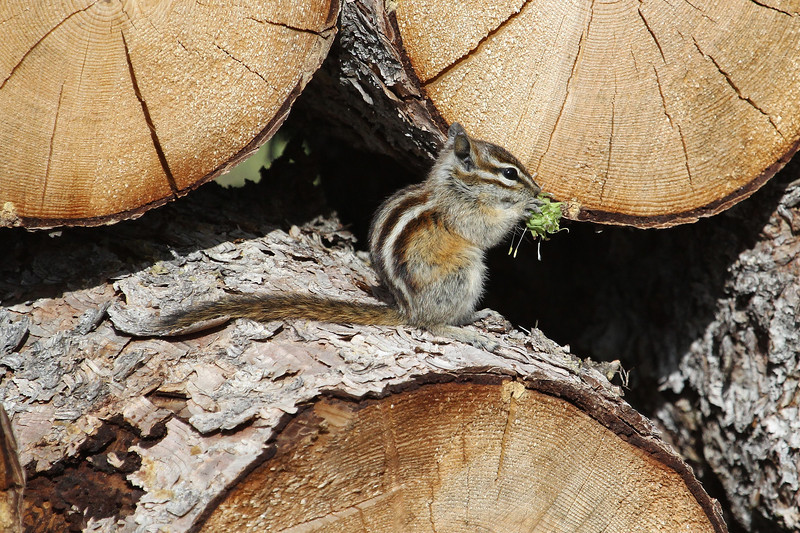 Tomias umbrinus, Uinta Chipmunk. Medicine Bow National Forest.