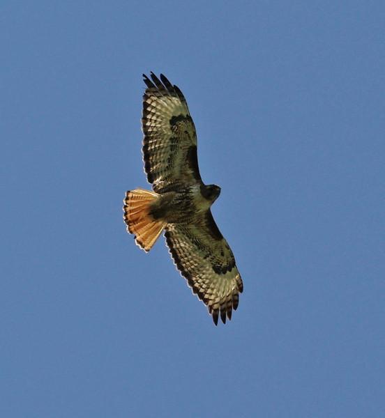 Buteo jamaicensis ssp. calurus, Red-Tailed Hawk