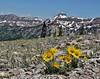 Hymenoxys grandiflora, Alpine sunflower, Bridger-Teton National Forest