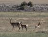 Antilocapra americana, Pronghorn antilope, Rattlesnake Hills near Casper, WY.