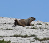 Marmota flaviventris, Yellow-Bellied Marmot. Bridger-Teton National Forest