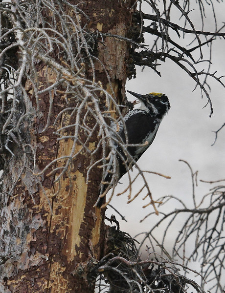 Picoides tridactylus, Three-Toed Woodpecker. Lake Marie, Medicine Bow National Forest.