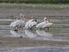 Pelecanus erythrrohynchos, American White Pelican. Medicine Bow National Forest.