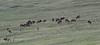 Cervus elaphus, herd Elks at Sundance Mountain 3800m.