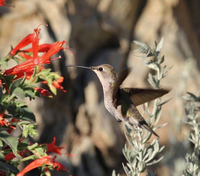 Selasphorus platycercus, female Broad-tailed Hummingbird.(Note: whitish around eye) on Zauschneria latifolia, near Heber City.