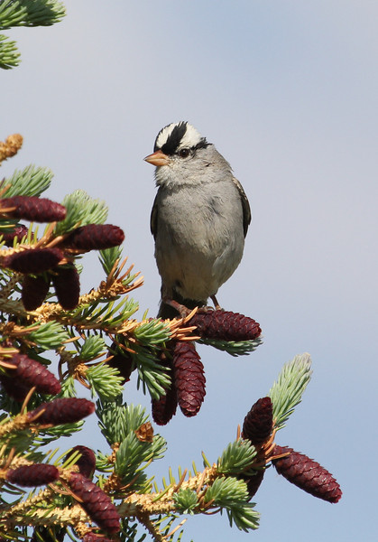 Zonotrichia leucophrys, White-crowned Sparrow. Medicine Bow National Forest.