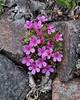 Douglasia montana, Douglasia. Beartooth Plateau. >3000m WY