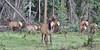 Cervus elaphus, cow/calf herd Elk