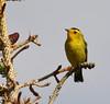 Wilsonia pusilla, Wilson's Warbler. Medicine Bow National Forest.