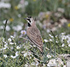 Eremophila alpestris, Horned Lark. near Medicine Wheel Nat'l. Hist. Site.