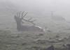 Cervus elaphus, male Elk in mist near Gore Range 3700m