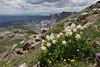 Aquilegia coerulea var. ochroleuca, Colorado White Columbine, Medicine Bow National Forest.