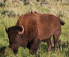 "Molothrus ater, Brown-headed Cowbird on Bison bison, American Bison ""Buffalo""."