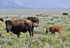 "Bison bison, American Bison ""Buffalo"". Teton National Forest."