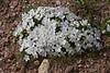 Phlox multiflora, Many-flowered Phlox, Medicine Wheel Nat'l. Hist. Site. Big Horn National Forest. Lovell, WY.