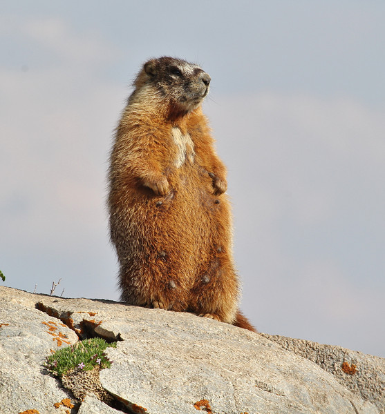 Marmota flaviventris, Yellow-Bellied Marmot. Medicine Bow National Forest.