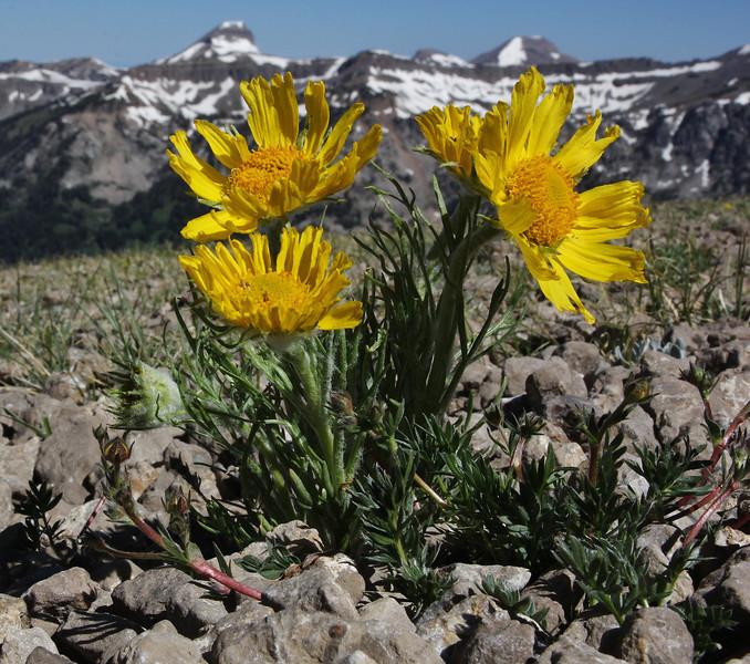 Hymenoxys grandiflora, Alpine sunflower with Grand Teton 4197m.