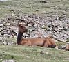 "Cervus elaphus, sleeping female Elk ""Wapiti"""