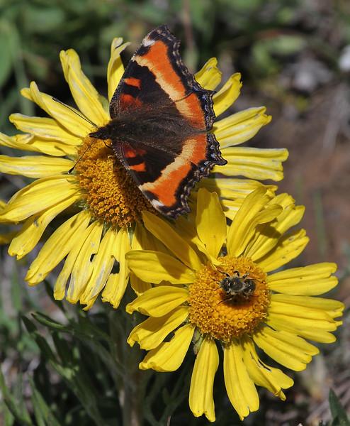 Nymphalis milberti and Bombus appositus on Hymenoxys grandiflora, Milbert's Tortoiseshell and Bumblebee on Rydberg Sunflower. Parkman, North WY.
