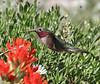 Selasphorus platycercus on Castilleja applegatei.     male Broad-tailed Hummingbird on Applegate's Indian Paintbrush. Catherine Pass 2669m, Brighton, UT.