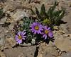 Townsendia montana, Mountain Townsendia, Bridger-Teton National Forest