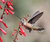 Selasphorus platycercus on Penstemon eatoni,     Female Broad-tailed Hummingbird on Firecracker Penstemon. E of Alpine, UT.