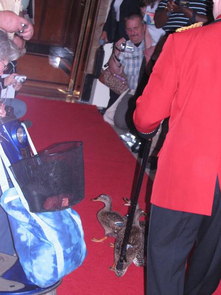 Ducks into the elevator (Peabody Hotel, Memphis, TS)