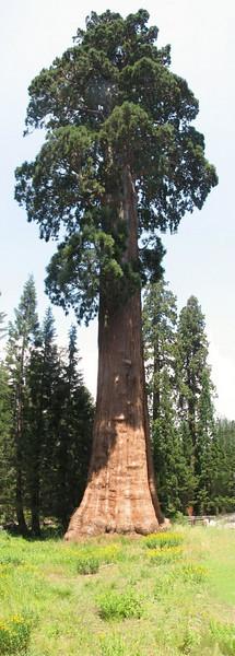 panorama Sequoiadendron giganteum 3.bew.pg