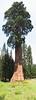 panorama Sequoiadendron giganteum 3.bew