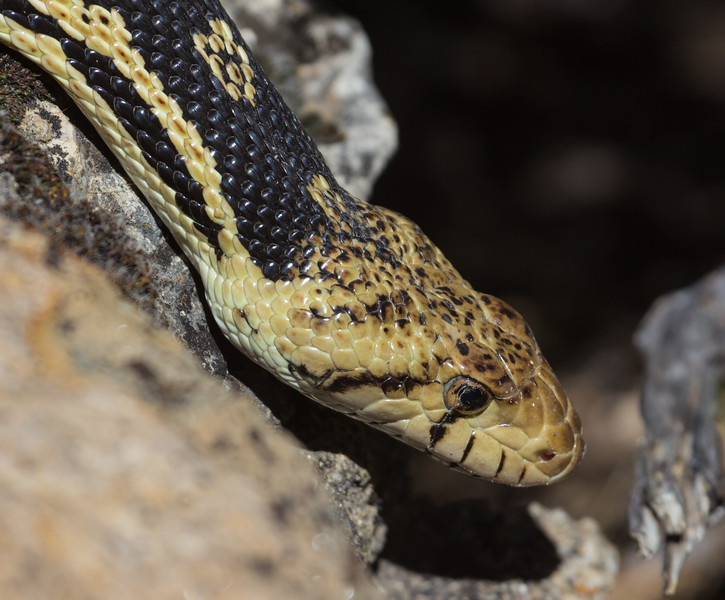 Pituophis catenifer