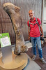 Camarasaurus, Adult Right Thigh Bone