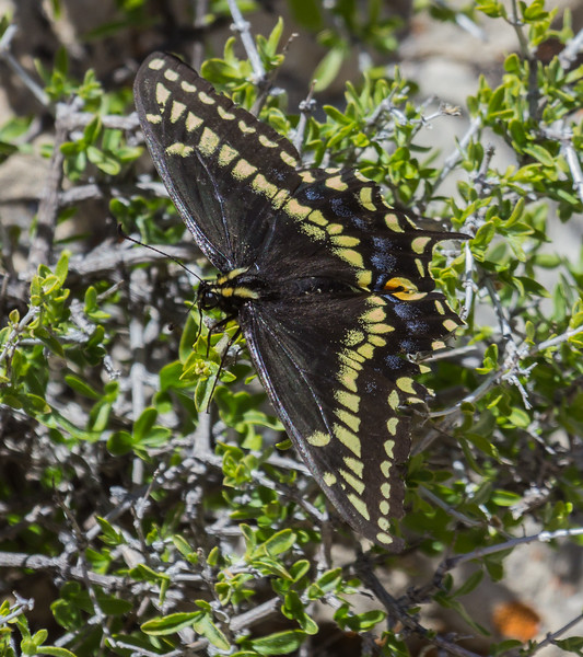 Papilio indra