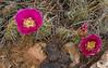 Opuntia polyacantha